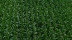 AERIAL: Green maize field Stock Footage