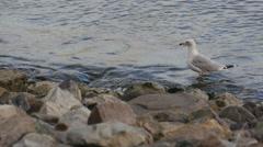 Ring Billed Gull (Larus Delawarensis) Stock Footage