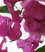 Bougainvillea closeup abstract Stock Illustration
