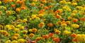 4K Mary Gold Flowers 02 Botanical Garden 4k or 4k+ Resolution