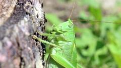 Grasshoper macro view Stock Footage