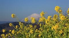 Rapeseed field and Mount Fuji, Kanagawa Prefecture, Japan Stock Footage