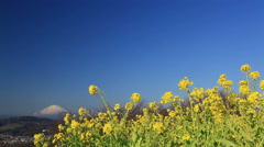 Rapeseed field and Mount Fuji, Kanagawa Prefecture, Japan Stock Footage