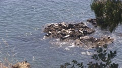 Seal's resting rock Stock Footage