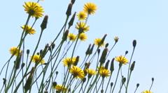 Dandelions fluttering in the wind Stock Footage