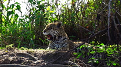 Closeup view of Jaguar resting in Pantanal riverbank, Brazil Stock Footage