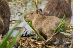 Baby Capybara in Brazilian Pantanal (Side view). Hydrochoerus hydrochaeris - stock photo