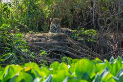 Front view of wild Jaguar standing in riverbank, Pantanal, Brazil Stock Photos