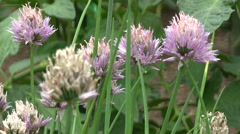 Chive flowers fluttering in the wind Stock Footage