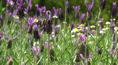 French Lavender field Stock Footage