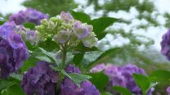 Close-up shot of Hydrangea flowers under the rain Stock Footage