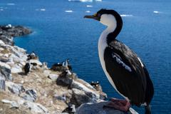 Antarctic blue-eyed cormorant sitting on a rock on a background of the colony Stock Photos