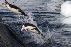 Gentoo penguins jumping into the water from the rock Stock Photos