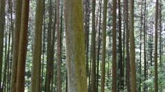 Japanese Cedar Grove, Aichi Prefecture, Japan Stock Footage