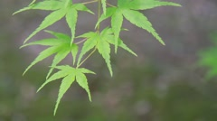 Green maple leaves Stock Footage