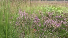 4k Lunenburg Heath with Cross-Leaved Heath plants and Purple Moor Grass Stock Footage