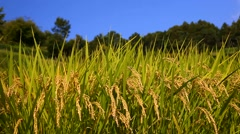 Rice ears Stock Footage