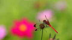 Red Dragonfly Stock Footage