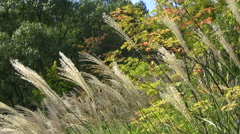 Japanese silver grass Stock Footage
