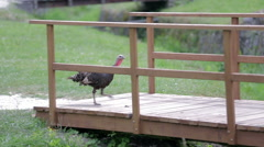 Bird cross a small vintage wooden bridge Stock Footage