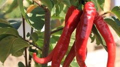 Shaking chillies in the wind - stock footage