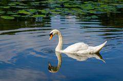 graceful white swan swimming on water - stock photo