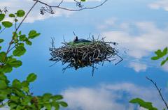 Common coot bird nest on water fulica atra Stock Photos