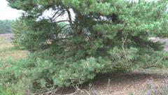 4k Cross-Leaved Heath plants and pine tree tilt view Stock Footage