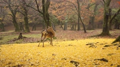 Sika Deer At Nara Park, Nara, Japan Stock Footage