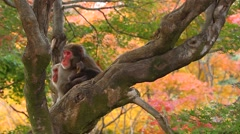 Japanese snow monkeys, Kyoto, Japan Stock Footage