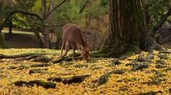 Sika Deer At Nara Park, Nara, Japan Stock Footage