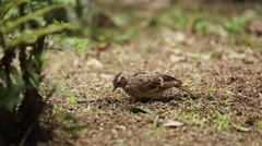 Skylark pecking the ground for food Stock Footage