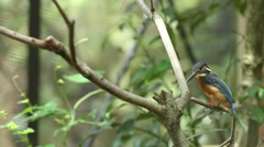 Common Kingfisher Stock Footage