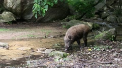 Wild boar, Hyogo Prefecture, Japan Stock Footage