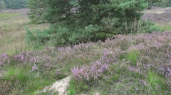 4k Windy heathland with Cross-Leaved Heath plants and pine tree Stock Footage
