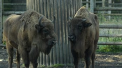 European bisons - stock footage