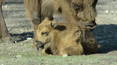 European bisons incl juvenile - stock footage