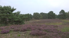 4k Lunenburg Heath landscape with Heath plants and pine trees Stock Footage