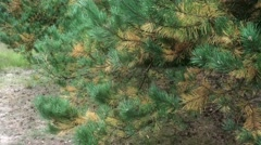 4k Pine tree branches moving by wind in autumn Stock Footage