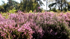 Heather blooming purple Stock Footage