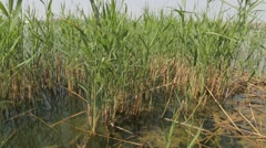 Reed Bed With Grebe, Lake Landscape, Cane Stock Footage