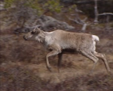 Reindeer (Rangifer tarandus) moving in tundra landscape, Norway Stock Footage