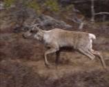Stock Video Footage of Reindeer (Rangifer tarandus) moving in tundra landscape, Norway