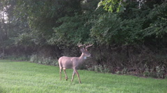 White-tailed deer buck in cemetery Stock Footage