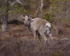 Reindeer (Rangifer tarandus) in tundra landscape, Norway - on camera Stock Footage