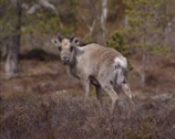 Stock Video Footage of Reindeer (Rangifer tarandus) in tundra landscape, Norway - on camera