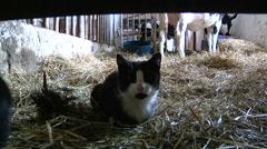 Barn Cat Stock Footage