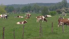 Floodplains River Meuse with pattern of hedges + zoom in dairy cattle Stock Footage