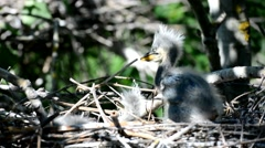 Gray heron chicks recently hatched from eggs and already know how to fight Stock Footage