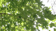Lots of green maple leaves from the tree Stock Footage